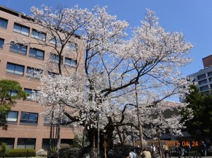 2017_04_石割桜290424-1